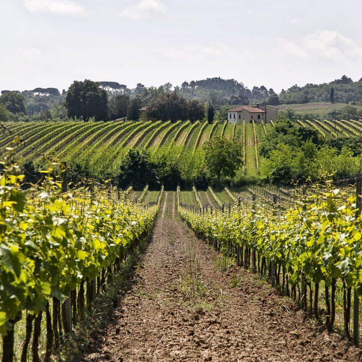 FS99-Vineyards